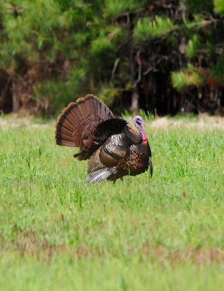 Wild Turkey Strutting_2.jpg