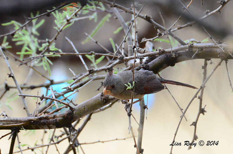 Female Pyrrhuloxia - 4/18/2014 - San Pedro Riparian Conservation Area, Sierra Vista, Az