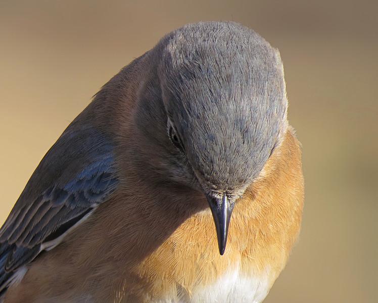 sx50_bluebird_portrait_118.jpg