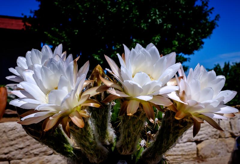 cactus flowers-5030.jpg