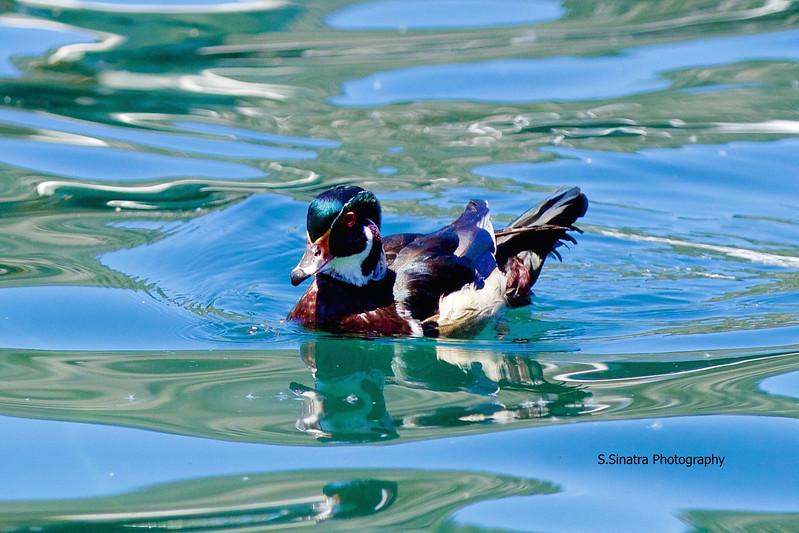 Wood Duck in June lake (1)