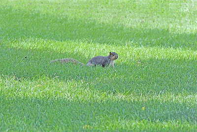 Squirrel In Grass Lg no name