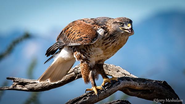 Tucson: Birds and Wildlife