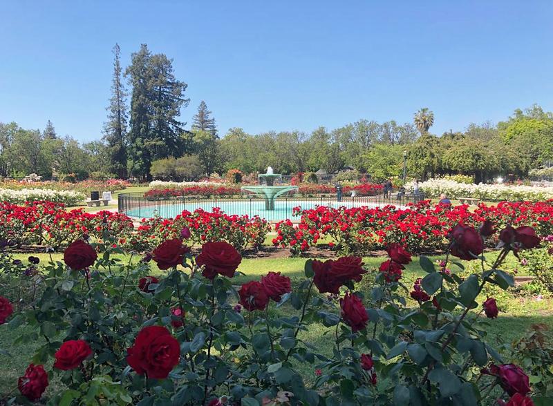 fun things to do in northern california - municipal rose garden