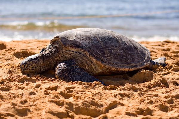 The Sea Turtle at Poipu