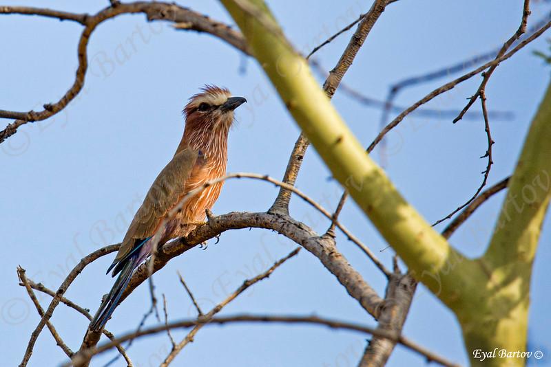 Rufous-Crowned or Purple Roller (Coracias n .naevia)