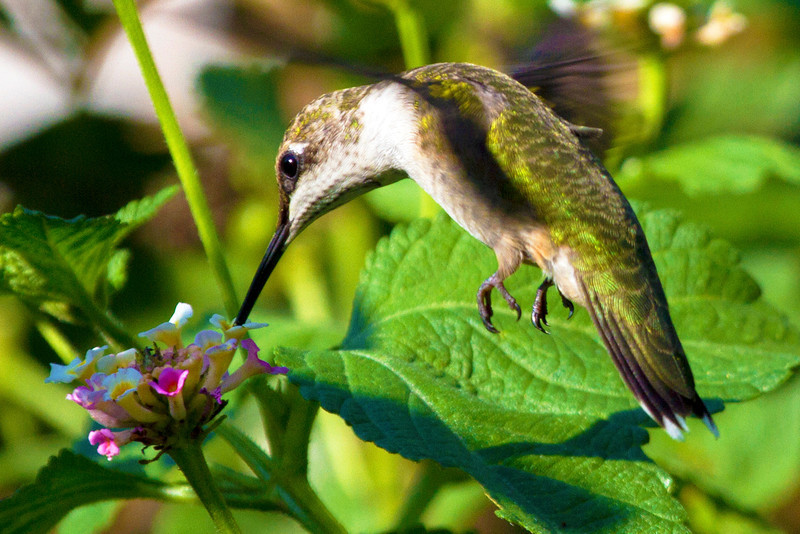 hummingbirdandlantana8.jpg