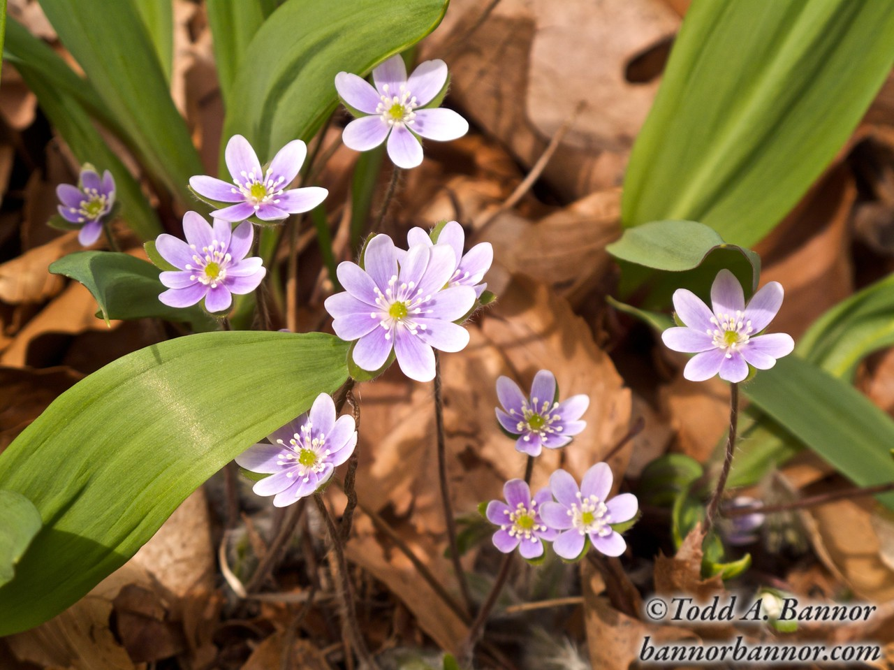 Round-lobed hepatica. Warren Woods State Park, Michigan. The foliage is wild onion leaves.