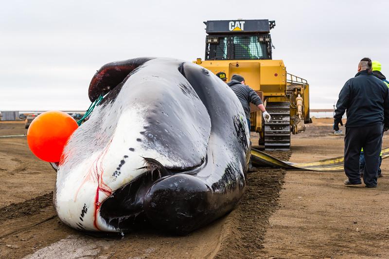 Utqiagvik Whaling-6104413-Juno Kim-nw.jpg