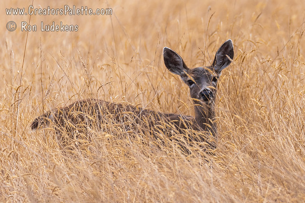 California Mule Deer (Odocoileus hemionus californicus)