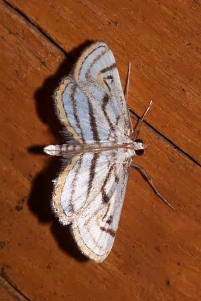 Pondweed Moth - Chestnut-marked - (Parapoynx badiusalis) - Dunning Lake - Itasca County, MN
