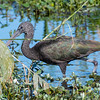 Young glossy ibis