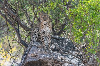 Leopards - Kenya 2019