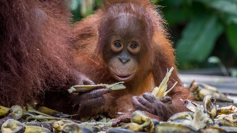 Baby Orangutan chomping on sugar cane.
