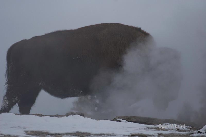 Bison in Geyser.jpg