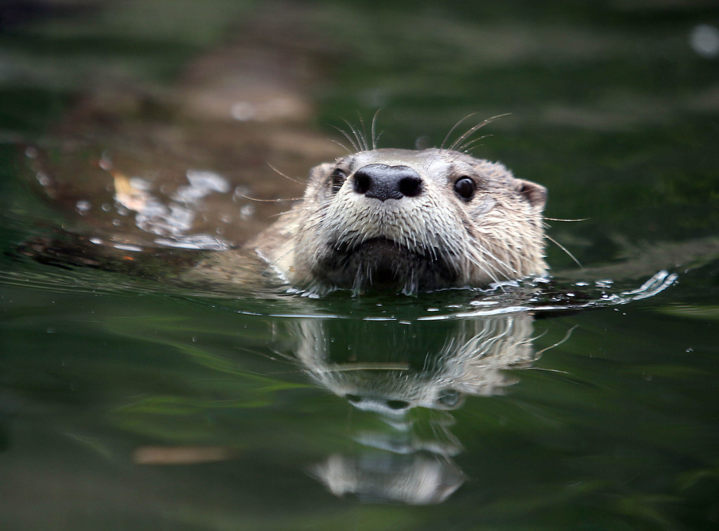 . Ginger, a female river otter, swims in her exhibit at the Oakland Zoo in Oakland, Calif., on Thursday, May 9, 2013. Three male pups, named Kohana, (swift) Hinto, (blue) and Shilah (brother) were born to Ginger on February 24.  (Jane Tyska/Bay Area News Group)