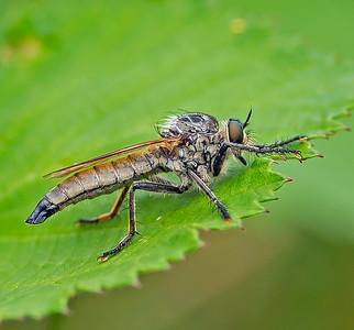 Eutolmus rubibarbis
