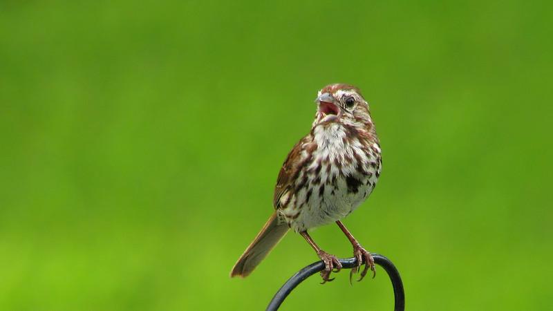 song_sparrow_6591.jpg