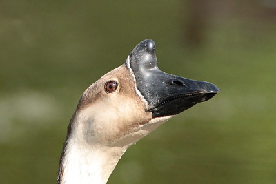 BROWN-CHINESE GOOSE