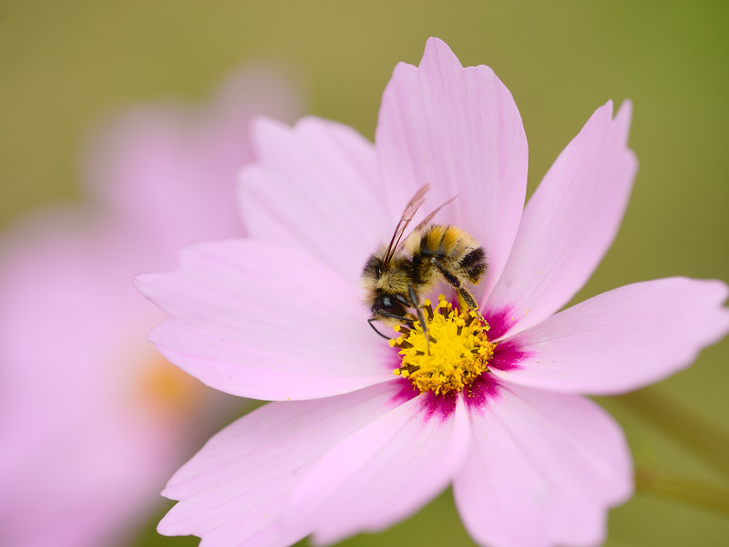 Bumble on Cosmos