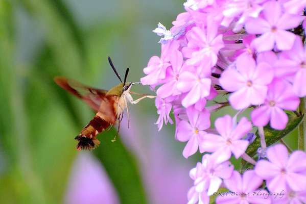 Clear-wing Humming Bird Moth 2012