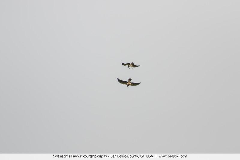 Swainson's Hawks' courtship display - San Benito County, CA, USA