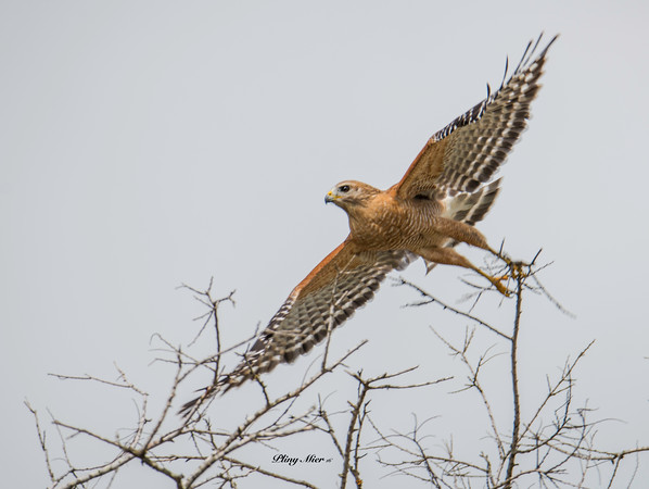 Red-shouldered Hawk IF_DWL9601.jpg