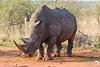 White Rhino in all his glory