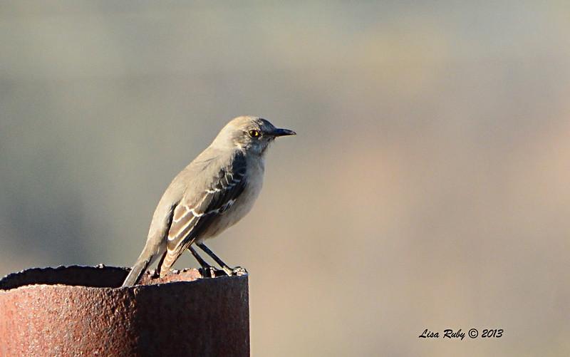 Northern Mockingbird - 12/30/13 - San Pasqual Valley Trail