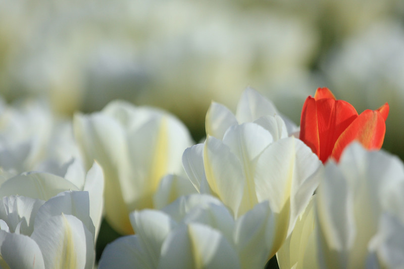 Tulips 08 030.JPG