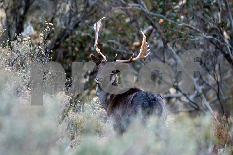 deer thredbo 1 june 15.jpg