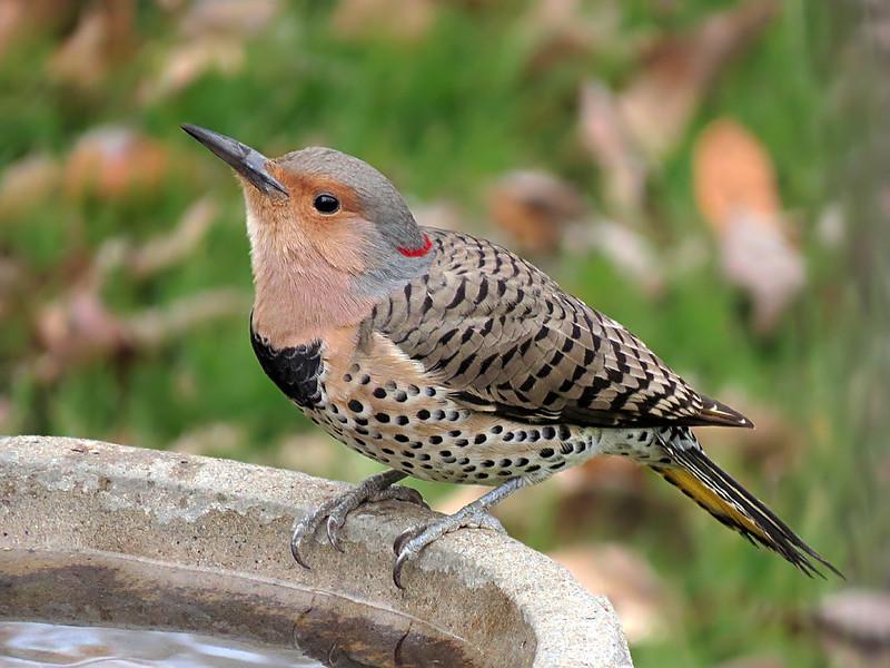 sx50_flicker_birdbath_893.jpg