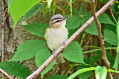 Vireos and Shrikes