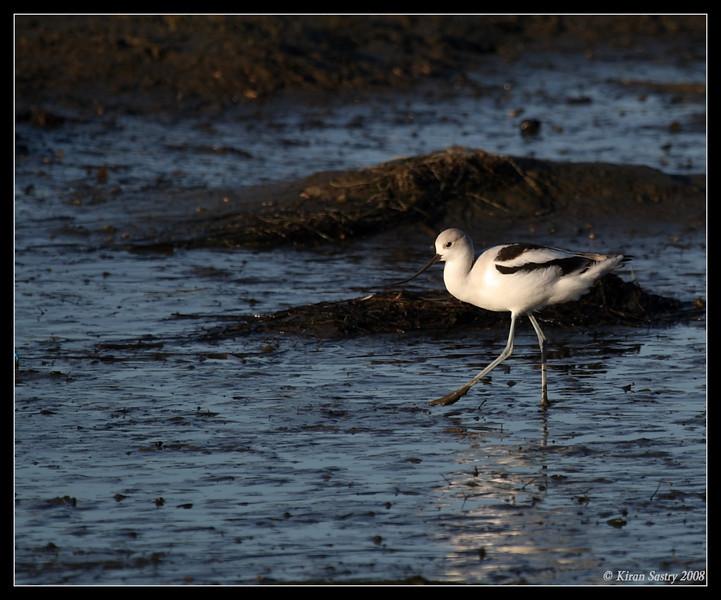 American Avocet, San Elijo Lagoon, Rios Ave, San Diego County, California, December 2008