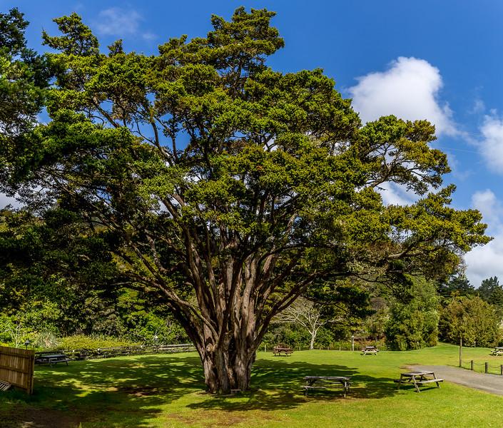 Prachtvoller Totara-Baum im Kauri Coast Holiday Park