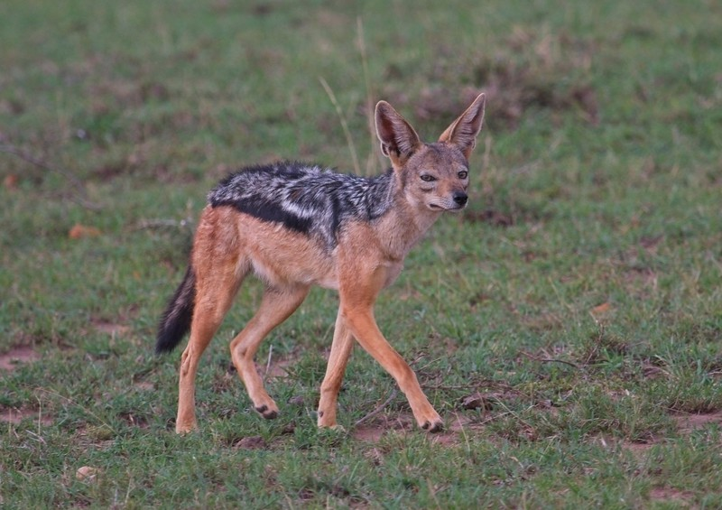 Black-backed Jackal, Naboisho Conservancy