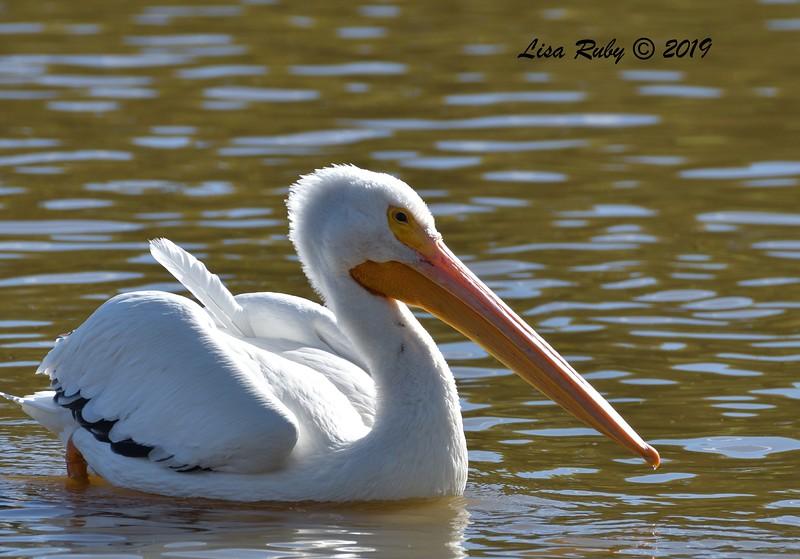 White Pelican  - 12/01/2019 - Lindo Lake