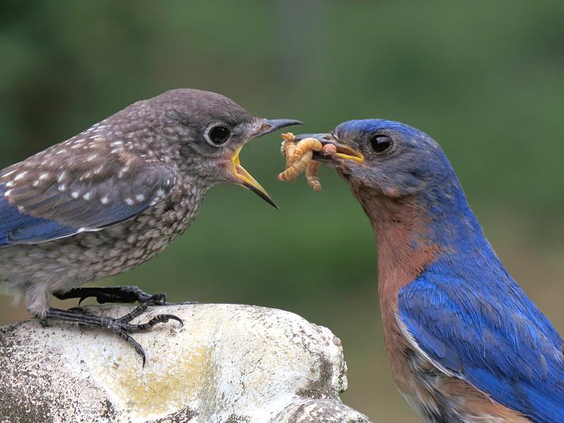 sx50_bluebird_fledgling_boas_646.jpg