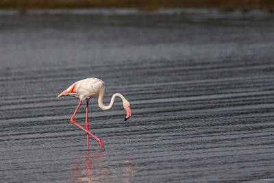 Rosenflamingo (Greater flamingo)