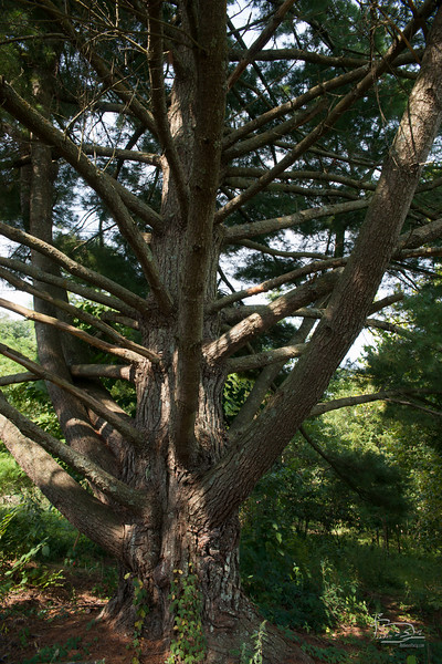 the Guardian Pine is a vertical studio