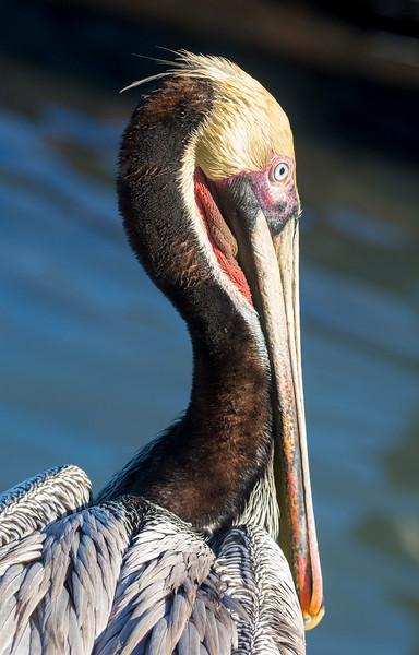 Brown Pelican face