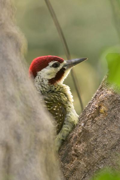 Bennett's Woodpecker