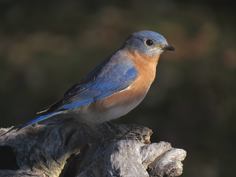sx50_bluebird_boas_164.jpg