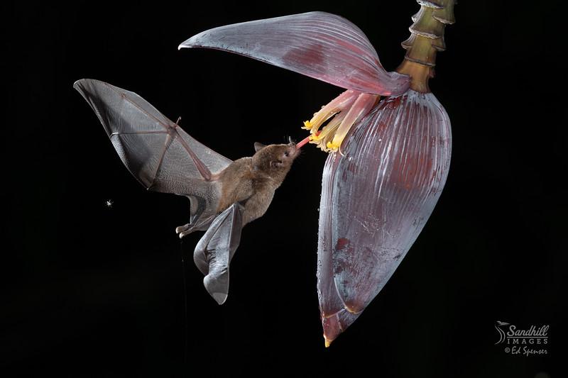 Fruit bat on banana flower