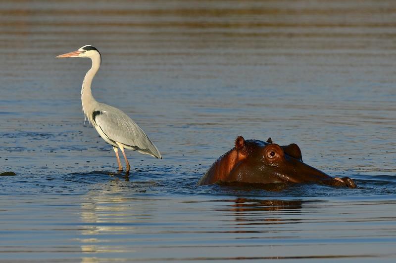 Blue Heron & Hippo.jpg