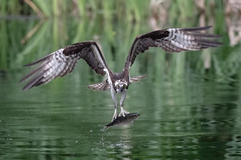 #1639 Osprey Head-On Grab