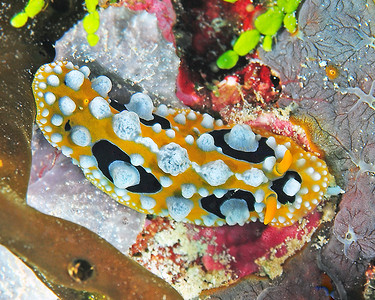 Nudibranch, yellow black