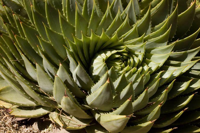 Aloe polyphyla....spirialing aloe... too cool.