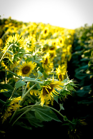 Sunflowers @ Sunset