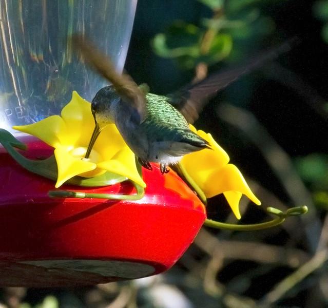 hummingbirdatfeeder6.jpg